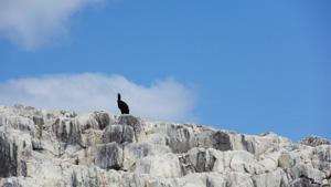 Farne-Islands-Seahouses-schwarzer-Vogel-auf-Felsen-Bootstour