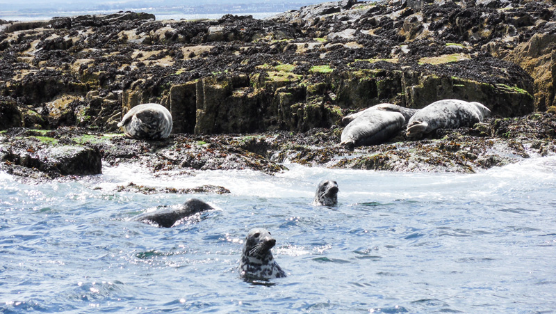 Farne Islands Robben bei Bootstour