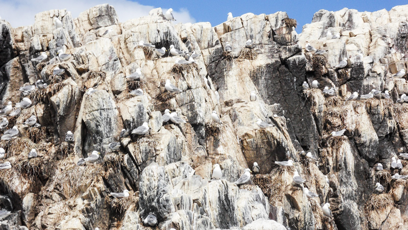 Farne Islands viele Vögel und Vogelnester auf Felsen - Bootstour