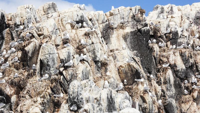 Farne-Islands-Vogelnester-auf-Felsen-Bootstrip-Seahouses